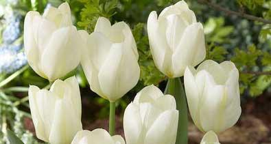 Spring Tulip Bulb Drive 2020